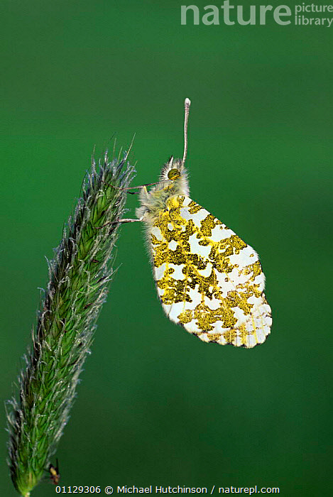 Orange tip butterfly {Anthocharis cardamines} UK.  ,  LEPIDOPTERA,VERTICAL,UK,INSECTS,EUROPE,INVERTEBRATES,ENGLAND,BUTTERFLIES,United Kingdom,British  ,  Michael Hutchinson