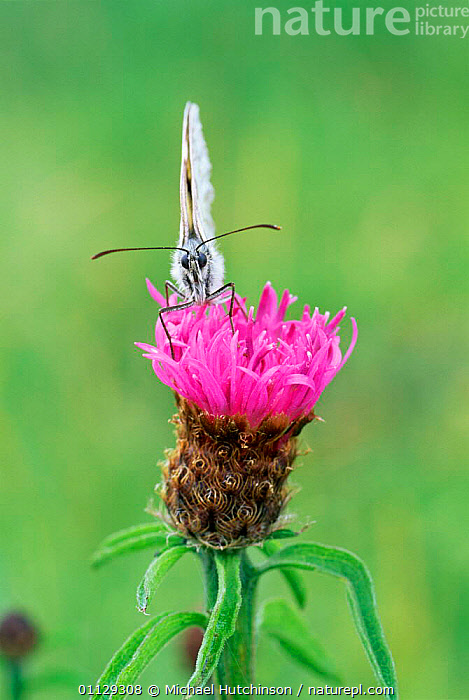 Marbled white butterfly {Melanargia galathea} head on view, UK.  ,  BUTTERFLIES,ENGLAND,FLOWERS,EUROPE,INSECTS,UK,VERTICAL,THISTLE,LEPIDOPTERA,United Kingdom,Invertebrates,British  ,  Michael Hutchinson
