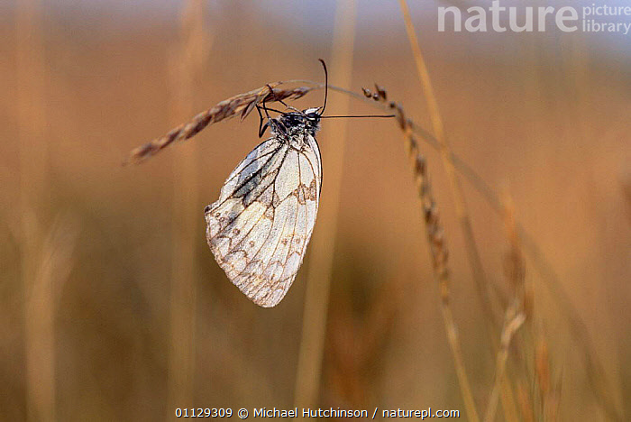 Marbled white butterfly {Melanargia galathea} UK.  ,  LEPIDOPTERA,UK,EUROPE,INSECTS,ENGLAND,BUTTERFLIES,United Kingdom,Invertebrates,British  ,  Michael Hutchinson