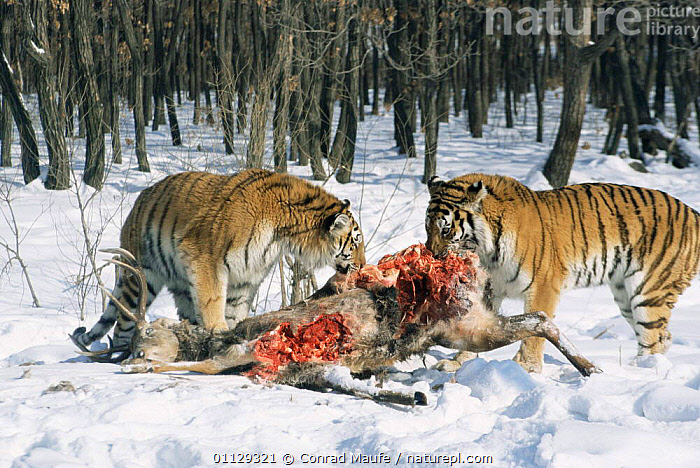 Siberian tigers feeding on deer carcass {Panthera tigris altaica} captive, Russia, SNOW,TWO,CARNIVORES,ENDANGERED,ARTIODACTYLA,BLOOD,MAMMALS,Tigers,Big Cats, Conrad Maufe