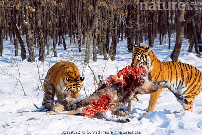 Siberian tigers feeding on deer carcass {Panthera tigris altaica} captive  ,  MAMMALS,SNOW,BLOOD,ENDANGERED,ARTIODACTYLA,CARNIVORES,TWO,Tigers,Big Cats  ,  Conrad Maufe