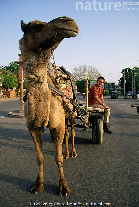 Nigel Marven with camel cart, India  ,  VEHICLES,ROADS,PEOPLE,TRADITIONAL,WORKING,VERTICAL,MAMMALS,PRESENTER,TRACTION,ASIA  ,  Conrad Maufe