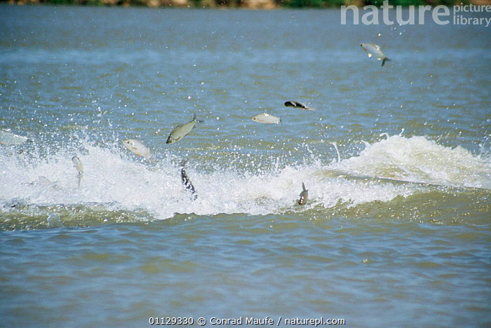 Boto / Bouto river dolphin {Inia geoffrensis} chasing fish, Araguaia river, Brazil. Photographed during making of BBC Planet Earth series 2004  ,  DOLPHINS,CETACEANS,BEHAVIOUR,ACTION,FRESHWATER,JUMPING,PREDATION,RIVERS,SOUTH AMERICA,WAVES,MAMMALS  ,  Conrad Maufe
