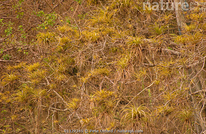 Pacific coastal dry forest, Machalilla National Park, Ecuador  ,  HABITAT,LANDSCAPES,PLANTS,NP,National Park  ,  Pete Oxford