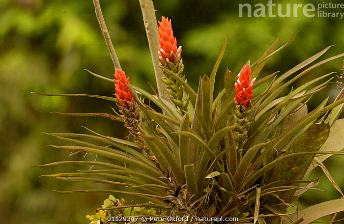 Bromeliad flowering {Bromeliaceae} Santo Domingo tropical rainforest, Ecuador  ,  TROPICAL RAINFOREST,RESERVE,SOUTH AMERICA,FLOWERS,PLANTS  ,  Pete Oxford