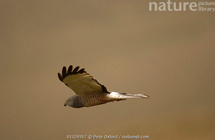 Cinereous harrier, male in flight {Circus cinereus} Andes, Ecuador, SOUTH AMERICA,SOARING,PROFILE,BIRDS OF PREY,FLYING,HARRIERS, Pete Oxford