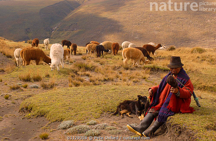 Alpaca herd with Quichua indian shepherd spinning, Paramo, Andes, Ecuador  ,  GROUPS,LANDSCAPES,LIVESTOCK,MAMMALS,MAN,PEOPLE,CRAFTS,ARTIODACTYLA,QUECHUA,TRADITIONAL,TRIBES,WOOL,WORKING  ,  Pete Oxford