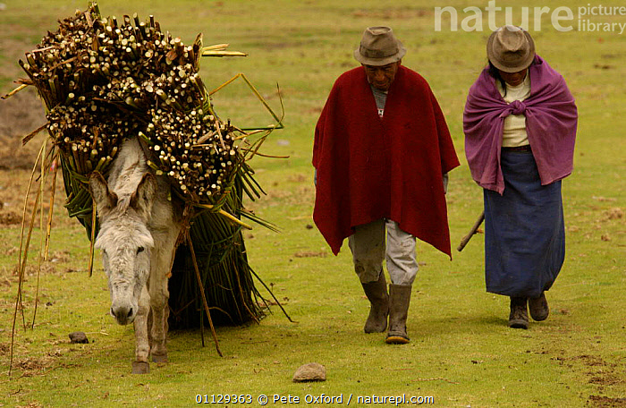 Harvesting Totora reeds for cattle fodder, Colta Lake, Andes, Ecuador  ,  TRADITIONAL,WORKING,CROPS,CARRYING,DONKEY,PLANTS,PEOPLE,LANDSCAPES,LIVESTOCK  ,  Pete Oxford
