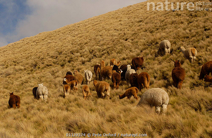 Alpaca herd grazing on the paramo, Chimborazo Province, Andes, Ecuador {Lama pacos}  ,  GROUPS,LLAMAS,LIVESTOCK,MAMMALS,ARTIODACTYLA,SOUTH AMERICA  ,  Pete Oxford