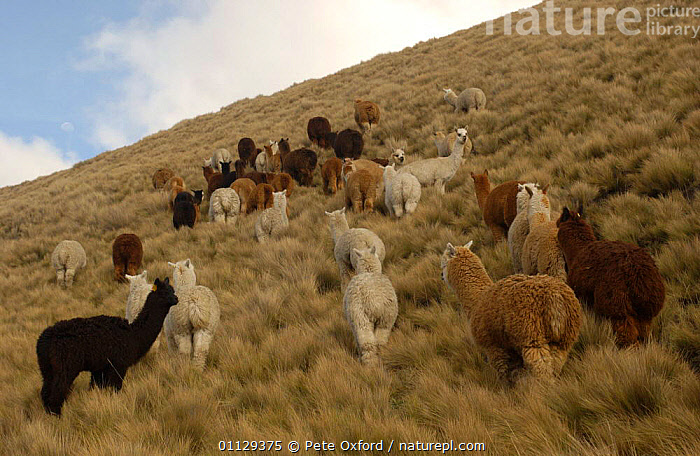 Alpaca herd grazing on the paramo, Chimborazo Province, Andes, Ecuador {Lama pacos}  ,  SOUTH AMERICA,ARTIODACTYLA,MAMMALS,LIVESTOCK,LLAMAS,GROUPS  ,  Pete Oxford