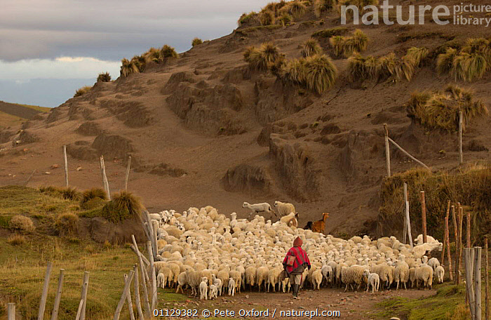 Quichua Indian shepherd taking sheep to pasture, Chimborazo, Andes, Ecuador. 2004  ,  PEOPLE,HERD,GROUPS,MAMMALS,LANDSCAPES,LIVESTOCK,ARTIODACTYLA,DOMESTIC,WORKING,QUECHUA,PROVINCE  ,  Pete Oxford