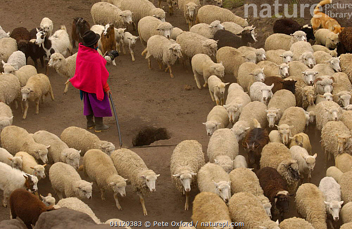 Quichua Indian shepherd taking sheep to pasture, Chimborazo, Andes, Ecuador. 2004  ,  PROVINCE,QUECHUA,WORKING,DOMESTIC,ARTIODACTYLA,LIVESTOCK,LANDSCAPES,MAMMALS,GROUPS,HERD,PEOPLE  ,  Pete Oxford
