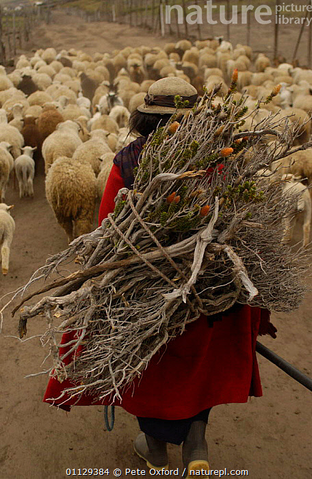 Quichua Indian returning from pasture with sheep + firewood, Andes, Ecuador. 2004  ,  PEOPLE,HERD,GROUPS,MAMMALS,LANDSCAPES,LIVESTOCK,ARTIODACTYLA,CHIMBORAZO,DOMESTIC,WORKING,QUECHUA,PROVINCE,SHEPHERD,TO,VERTICAL  ,  Pete Oxford