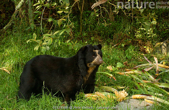 Spectacled bear {Tremarctos ornatus} captive, Ecuador, MAMMALS,BEARS,CARNIVORES,ENDANGERED,SOUTH AMERICA, Pete Oxford