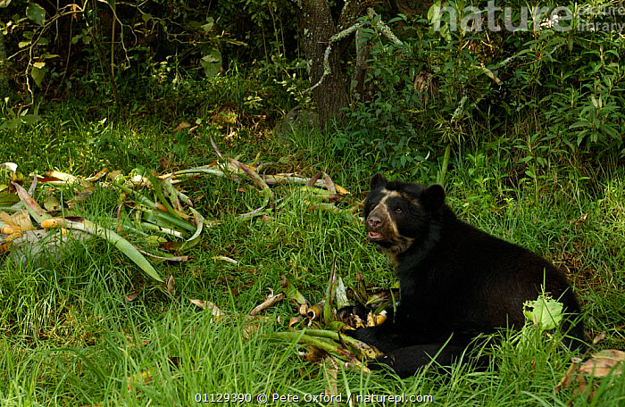 Spectacled bear feeding on bromeliads {Tremarctos ornatus} captive, Ecuador, MAMMALS,BEHAVIOUR,BEARS,CARNIVORES,ENDANGERED,SOUTH AMERICA, Pete Oxford