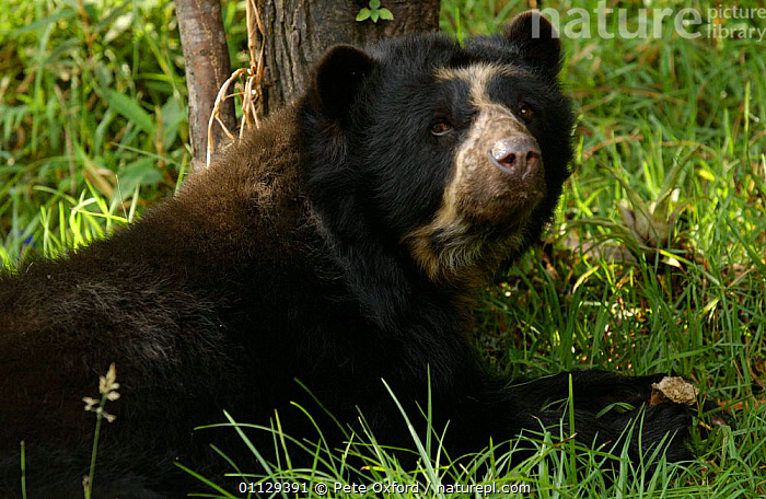 Spectacled bear {Tremarctos ornatus} captive, Ecuador  ,  SOUTH AMERICA,PORTRAITS,ENDANGERED,CARNIVORES,BEARS,MAMMALS  ,  Pete Oxford