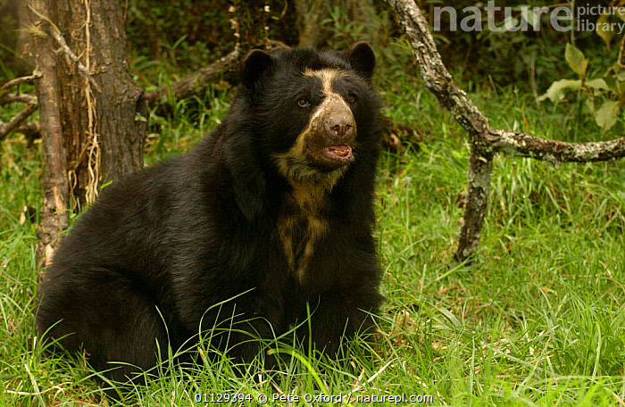 Spectacled bear {Tremarctos ornatus} captive, Ecuador, MAMMALS,BEARS,CARNIVORES,ENDANGERED,SOUTH AMERICA,PORTRAITS, Pete Oxford