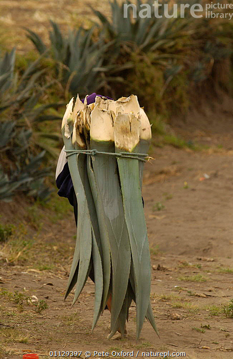 Salasaca indian woman carrying agave leaves to feed cattle, Andes, Ecuador. 2004  ,  VERTICAL,TRIBES,WORKING,CROPS,FODDER,LANDSCAPES,LIVESTOCK,PEOPLE,PARAMO  ,  Pete Oxford