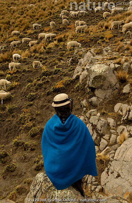 Quichua Indian spinning wool while watching over sheep, Paramo, Andes, 2004  ,  PEOPLE,LIVESTOCK,LANDSCAPES,CRAFTS,WORKING,TRIBES,VERTICAL,QUECHUA,TRADITIONAL  ,  Pete Oxford