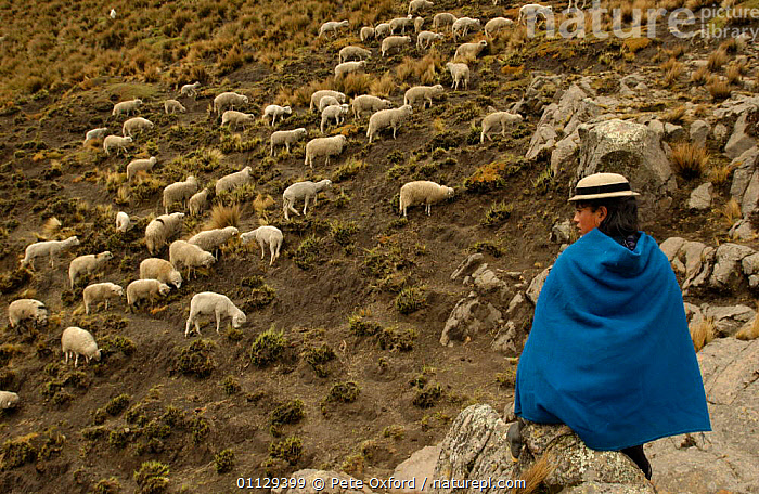 Quichua Indian spinning wool while watching over sheep, Paramo, Andes, 2004, TRADITIONAL,QUECHUA,TRIBES,WORKING,CRAFTS,LANDSCAPES,LIVESTOCK,PEOPLE, Pete Oxford