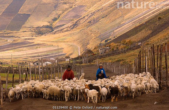 Quichua indians taking sheep to pasture, Chimborazo, Andes, Ecuador. 2004  ,  PEOPLE,PARAMO,LIVESTOCK,LANDSCAPES,MAMMALS,INDIAN,ARTIODACTYLA,WORKING,TRIBES,QUECHUA,TRADITIONAL  ,  Pete Oxford