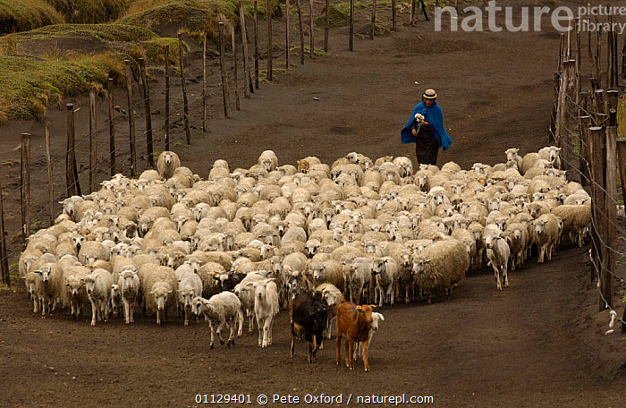 Quichua indians taking sheep to pasture, Chimborazo, Andes, Ecuador 2004, TRADITIONAL,QUECHUA,TRIBES,WORKING,INDIAN,LANDSCAPES,LIVESTOCK,PARAMO,PEOPLE, Pete Oxford