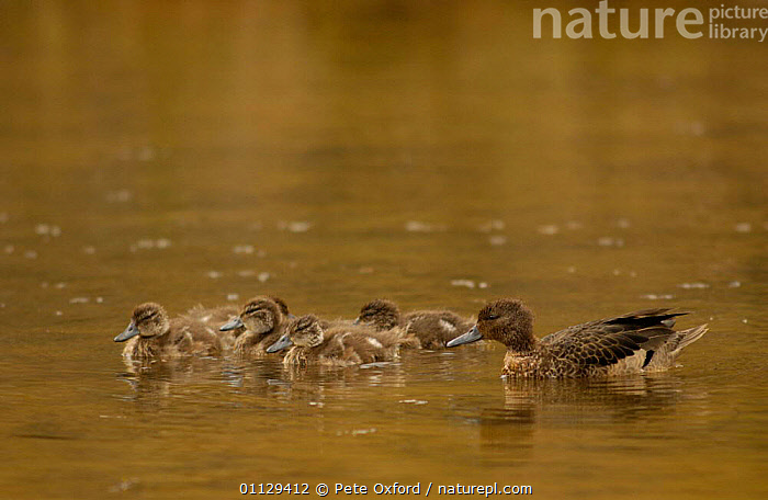 Andean teal duck with ducklings {Anas andium} Cajas NP, paramo, Andes, Ecuador  ,  BIRDS,CHICKS,BABIES,FAMILIES,DUCKS,SOUTH AMERICA,WATERFOWL  ,  Pete Oxford