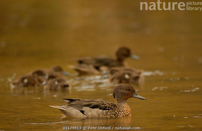 Andean teal duck with ducklings {Anas andium} Cajas NP, paramo, Andes, Ecuador, WATERFOWL,SOUTH AMERICA,DUCKS,FAMILIES,BABIES,CHICKS,BIRDS, Pete Oxford