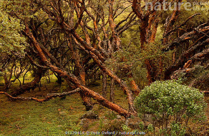 {Polylepis sp} tree which grows at the highest altitude Cajas NP, Andes, Ecuador  ,  POLYLEPIS,MOUNTAINS,LANDSCAPES,HABITAT,TREES,Plants  ,  Pete Oxford