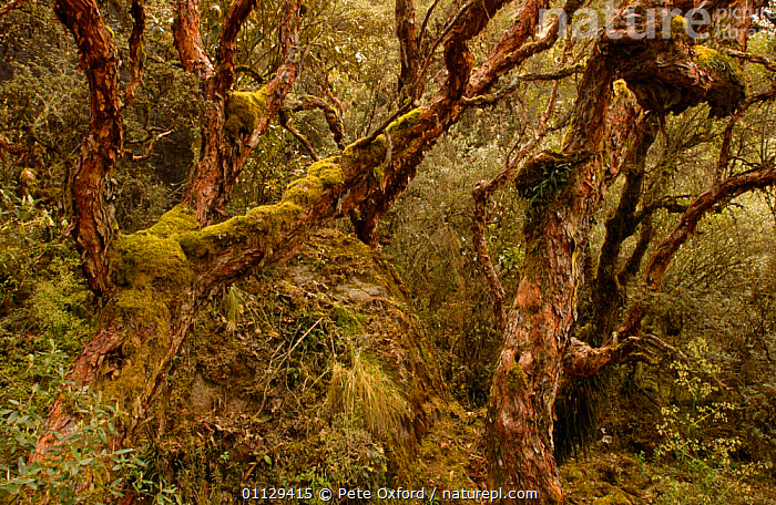Polylepis sp. tree which grows at the highest altitude Cajas NP, Andes, Ecuador  ,  TREES,HABITAT,HIGH ALTITUDE,LANDSCAPES,MOUNTAINS,Plants  ,  Pete Oxford