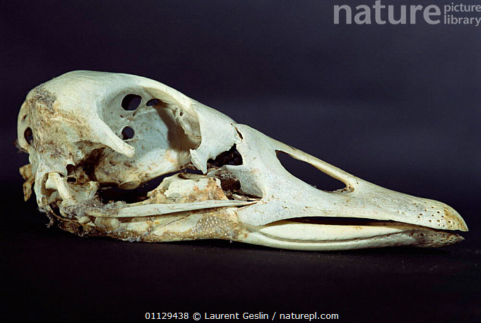 Goose skull {Anser sp}  ,  SKELETON,WATERFOWL,SP,BIRDS,GEESE,BONES,BEAKS,BEAK,Wildfowl, waterfowl  ,  Laurent Geslin