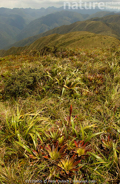 Evergreen high montane vegetation, Cajanuma, Podocarpus National Park, Andes, Ecuador, LANDSCAPES,HABITAT,NP,BROMELIADS,RESERVE,VERTICAL,National Park, Pete Oxford