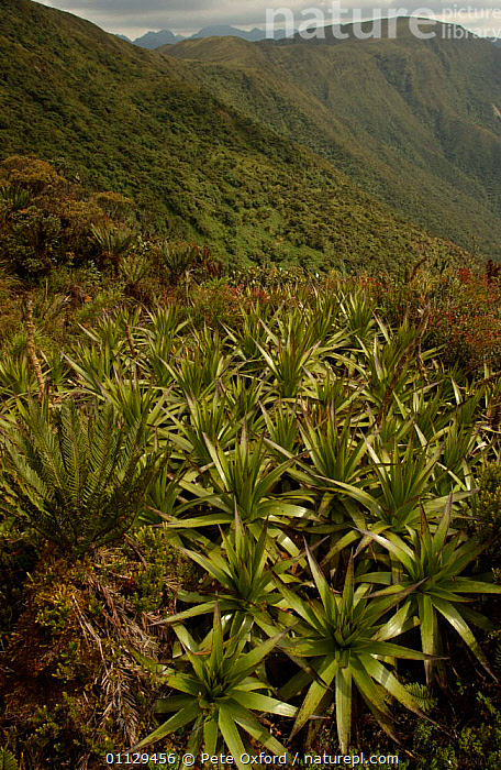 Evergreen high montane vegetation, Cajanuma, Podocarpus National Park, Andes, Ecuador, VERTICAL,RESERVE,BROMELIADS,NP,HABITAT,LANDSCAPES,National Park, Pete Oxford