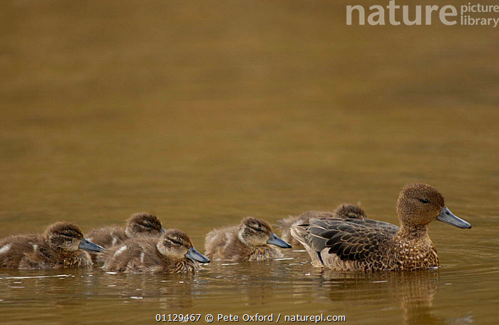 Andean teal duck with ducklings {Anas andium} Cajas NP. Ecuador  ,  WATERFOWL,SOUTH AMERICA,NP,MOTHER,BABIES,BABY,BIRDS,CHICKS,DUCKS,FAMILIES,National Park  ,  Pete Oxford
