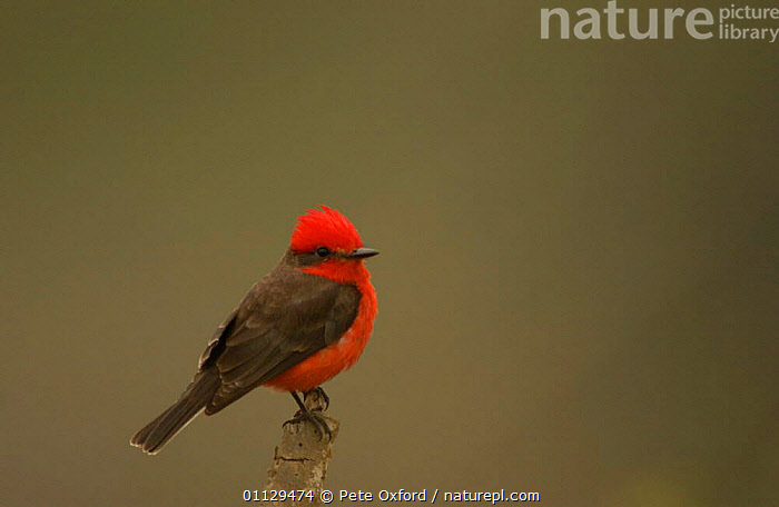Vermillion flycatcher {Pyrocephalus rubinus} Machalilla NP, Ecuador  ,  BIRDS,TYRANT,FLYCATCHERS,SOUTH AMERICA  ,  Pete Oxford
