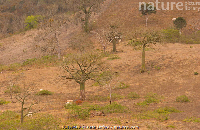 Kapok trees {Ceiba trischistandra} in area cleared for cattle, Ecuador  ,  NP,PACIFIC,LANDSCAPES,LIVESTOCK,MAMMALS,DRY,DEFORESTATION,FOREST,ARTIODACTYLA,CEIBA,CEIBO,TROPICAL DRY FOREST,TRISCHISTANDRA,TREE,National Park  ,  Pete Oxford