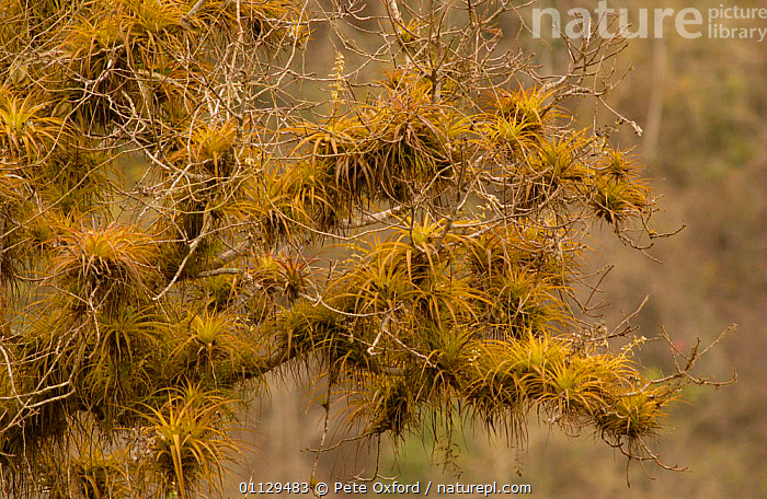 Epiphytic bromeliads, Pacific Dry Forest. Machalilla National Park, Ecuador  ,  TROPICAL DRY FOREST,SOUTH AMERICA,RESERVE,FOREST,NP,MIXED SPECIES,PLANTS,National Park  ,  Pete Oxford