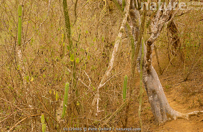 Understorey of Pacific Dry Forest, Machalilla National Park, Ecuador, TROPICAL DRY FOREST,RESERVE,NP,PLANTS,LANDSCAPES,National Park , understory, Pete Oxford