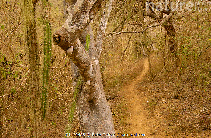 Understorey of Pacific Dry Forest, Machalilla National Park, Ecuador, LANDSCAPES,PLANTS,NP,RESERVE,TROPICAL DRY FOREST,National Park , understory, Pete Oxford