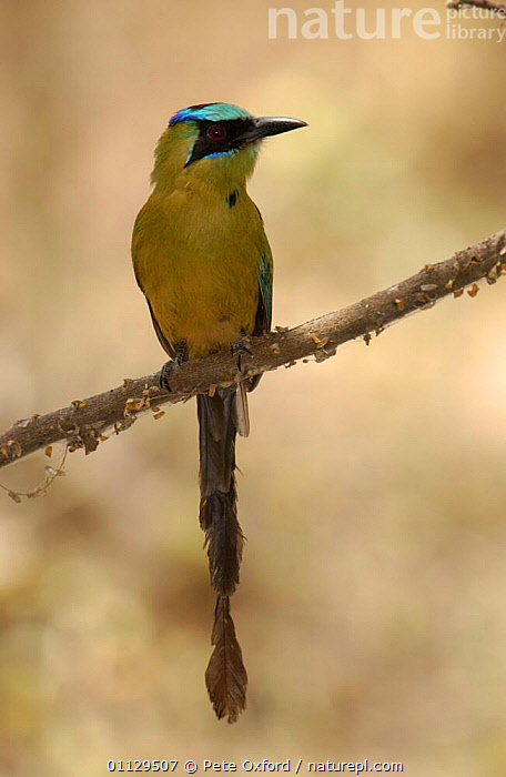 Blue-crowned motmot {Momotus momota} Machalilla NP. Ecuador, TROPICAL DRY FOREST,VERTICAL,SOUTH AMERICA,PARKCOAST,NP,MOTMOTS,NATIONAL,BIRDS,National Park, Pete Oxford