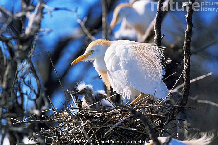Cattle egret with chick at nest {Bubulcus ibis} La Pampa, Argentina, BIRDS,CHICKS,FAMILIES,HERONS,NESTS,SOUTH AMERICA,VERTEBRATES, Gabriel Rojo