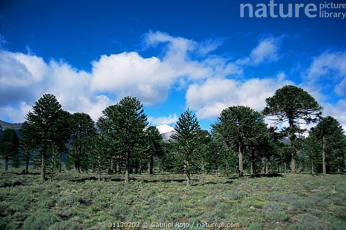 Monkey puzzle trees {Araucaria araucana} in Lanin NP, Argentina, LANDSCAPES,NP,RESERVE,SOUTH AMERICA,TREES,Plants,National Park,SOUTH-AMERICA, Gabriel Rojo