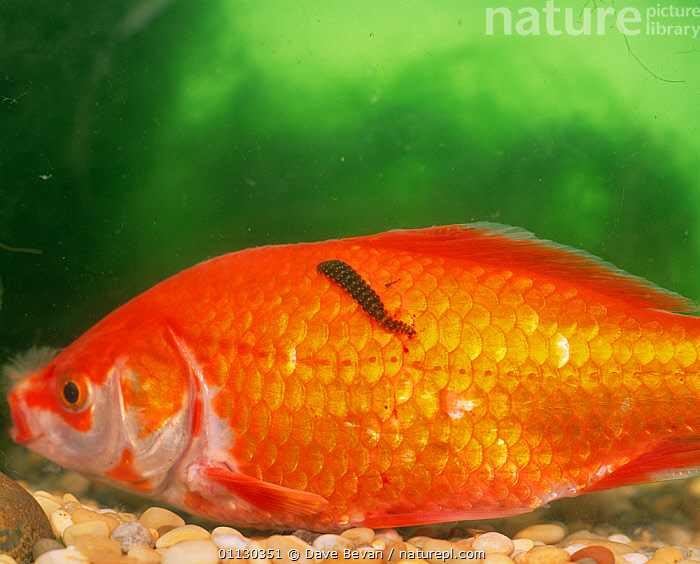 Goldfish {Carassius auratus} with Fish leech {Piscicola geometra} attached to its scales, UK., CARP,EUROPE,FISH,FRESHWATER,INVERTEBRATES,ORANGE,OSTEICHTHYES,PARASITES,TEMPERATE,UK,UNDERWATER,VERTEBRATES,United Kingdom, Dave Bevan
