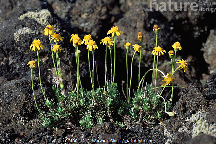 Plant {Chrysactinium sp} flowering in volcanic rock  Villarica volcano, Chile  ,  ASTERACEAE,COLONISATION,COMPOSITAE,DICOTYLEDONS,FLOWERS,GROWTH,PLANTS,SOUTH AMERICA,VOLCANOES,Concepts,Geology  ,  Warwick Sloss