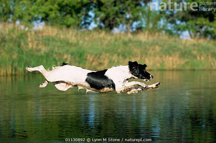 English springer spaniel {Canis familiaris} leaping across water, USA  ,  ACTION,CANIDS,DOGS,JUMPING,LEAPING,MAMMALS,PETS,USA,VERTEBRATES,WATER,North America  ,  Lynn M Stone