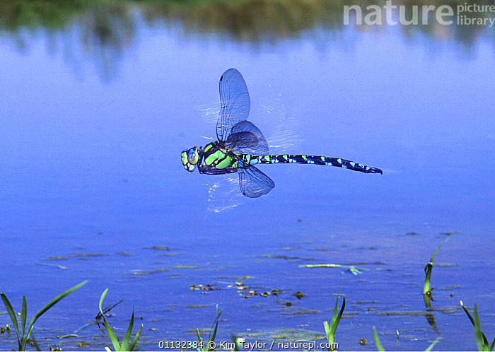 Southern hawker dragonfly {Aeshna cyanea} male hovering over pond, UK.  ,  INSECTS,ENGLAND,ODONATA,EUROPE,DRAGONFLIES,GARDENS,FLYING,PONDS,UK,United Kingdom,Invertebrates,British, United Kingdom, United Kingdom, United Kingdom,Catalogue1  ,  Kim Taylor
