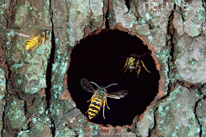 Common wasp workers {Vespula vulgaris} flying in and out of nest hole, UK.  ,  WASPS,WORKER,TREES,UK,BEHAVIOUR,ENGLAND,EUROPE,NESTS,United Kingdom,Plants,British,Hymenoptera WASPS,INSECTS,ARTHROPODS,HYMENOPTERA,INVERTEBRATES  ,  Kim Taylor