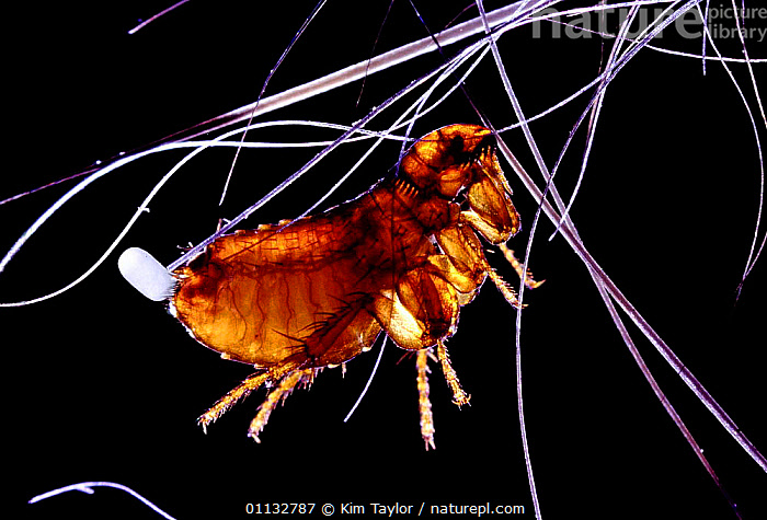 Cat Flea (Ctenocephalides felis) female, laying an egg. UK.  ,  EGGS,EGG,INSECTS,ENGLAND,FLEAS,EUROPE,MICRO PHOTOGRAPHY,MICROPHOTOGRAPHY,REPRODUCTION,PETS,PESTS,Invertebrates  ,  Kim Taylor