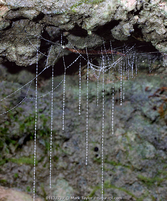 New Zealand Glow-worm larva with sticky threads used to trap insects, NZ.  ,  GNATS,GNAT,FUNGUS,BEETLES,LIGHT,INTERESTING,PREDATION,NEW,ZEALAND,NEW ZEALAND,TRAPPING,WEBS,Behaviour,Annelids,Invertebrates, Invertebrates  ,  Mark Taylor