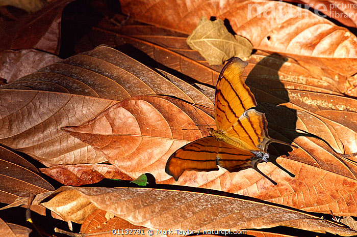 Ruddy Daggerwing butterfly in leaf litter (Marpesia petreus) Central America  ,  INSECTS,CAMOUFLAGE,CENTRAL AMERICA,BUTTERFLIES,LEPIDOPTERA,LEAVES,Invertebrates  ,  Mark Taylor